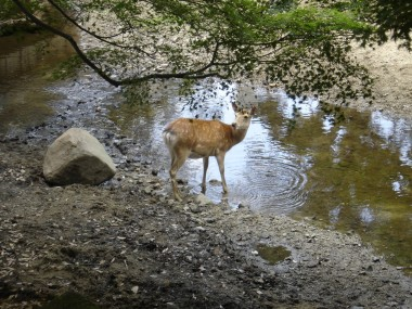 One of the tame deer in Nara, Japan.