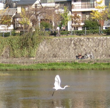 Crane flying over Kamo River, Kyoto, Japan: lucky show on my new camera.