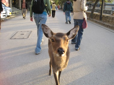 Hiroshima - Miyajima Shrine - One of the many adorable and hungry tame deer on the island.