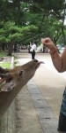 Nadia feeding cabbage to a deer in Nara, Japan. The tame deer roam freely and are considered sacred by the Japan people.